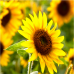 Rouwbedankje zonnebloemzaadjes