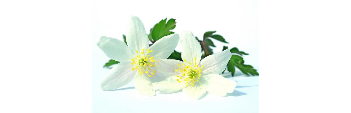 Witte tuinbloemen